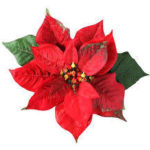December Birth Flower-Poinsettia