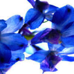 July Birth Flower-Delphinium