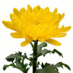 November Birth Flower-Chrysanthemum