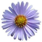 September Birth Flower-Aster